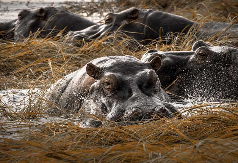 Image of Hippos in Zambezi River